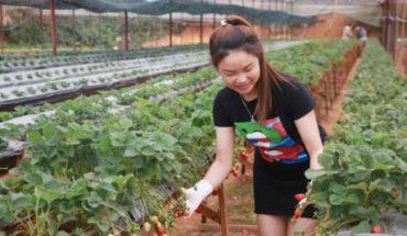 Vườn cà chua, dâu công nghệ cao trĩu quả quanh năm ở Đà Lạt
