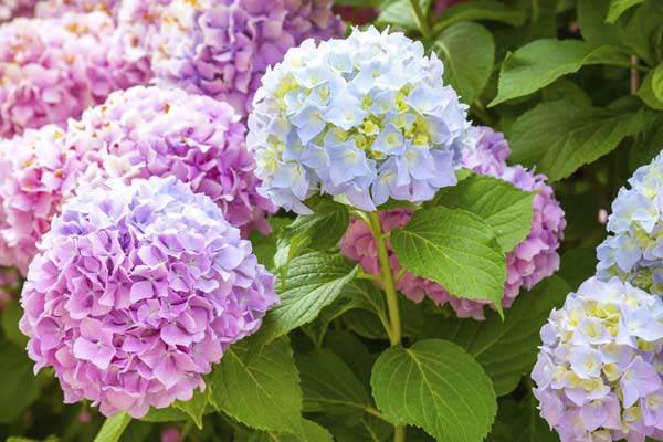 vườn hoa cẩm tú cầu hồ tuyền lâm