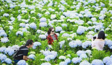 hoa cẩm tú cầu đà lạt