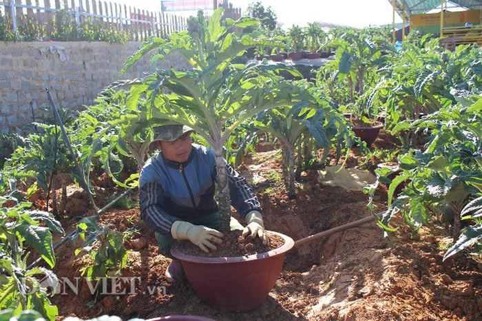Độc lạ Đà Lạt đưa cây atiso làm cây cảnh chơi tết giá hàng triệu đồng 1 cây
