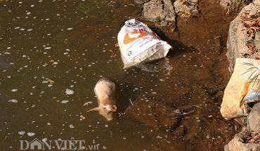 Lâm Đồng : Heo chết vứt đầy suối do bênh dịch lở mồm long móng